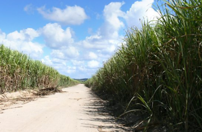 Sugar cane growing in Brazil